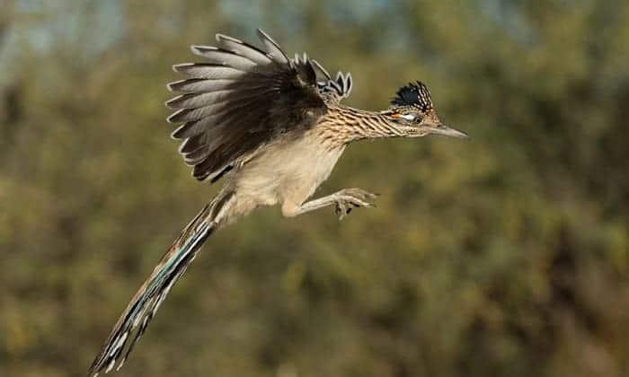 roadrunner-bird-food