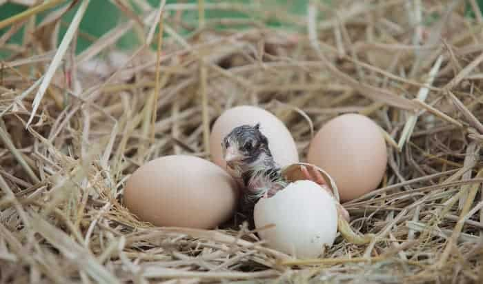 what are baby birds called