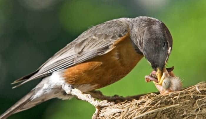 what to feed a baby bird without feathers