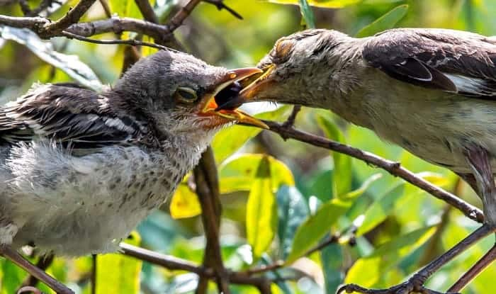 what to feed a baby mockingbird
