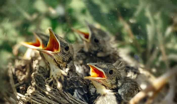 what to feed a fledgling bird