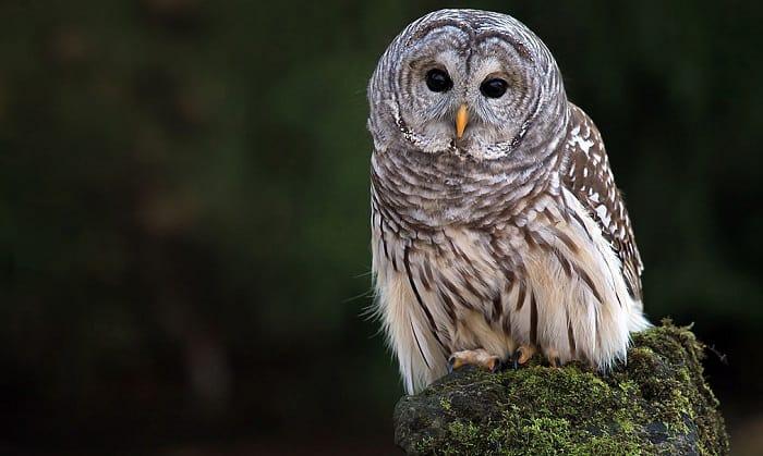 Barred-Owls