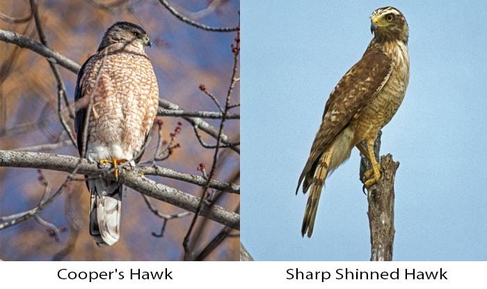 cooper's hawk vs sharp shinned hawk
