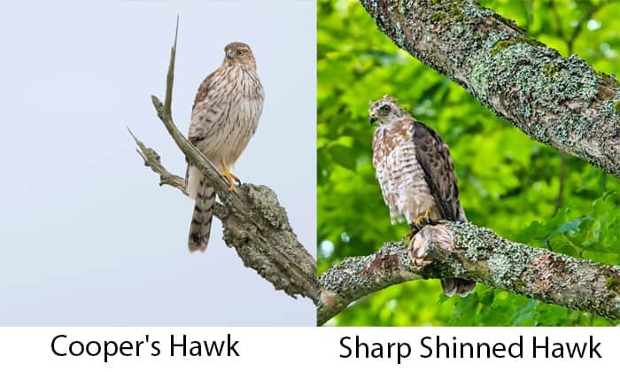 difference-between-cooper's-hawk-and-sharp-shinned-hawk