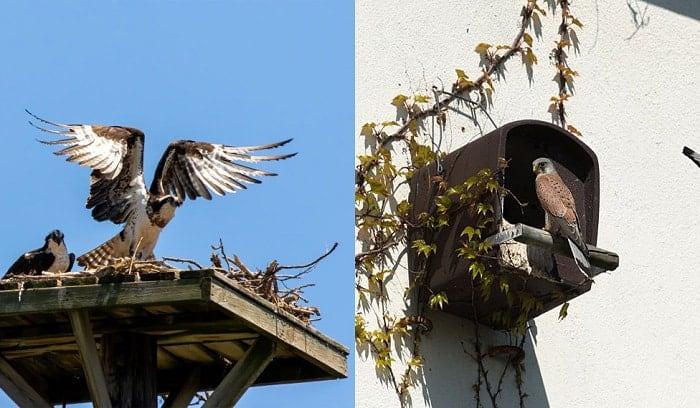falcon-versus-hawk