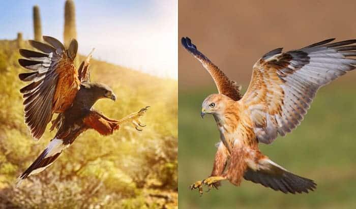 hawk-or-falcon