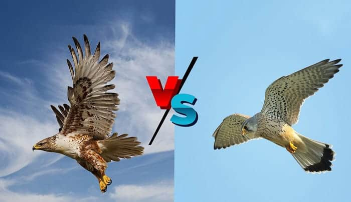 hawks vs falcons what's the difference