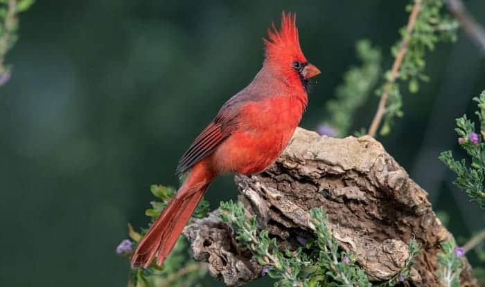 seeing-a-cardinal-meaning