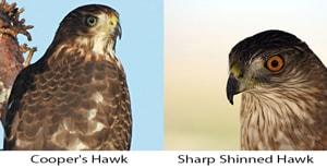 sharp-shinned-hawk-image