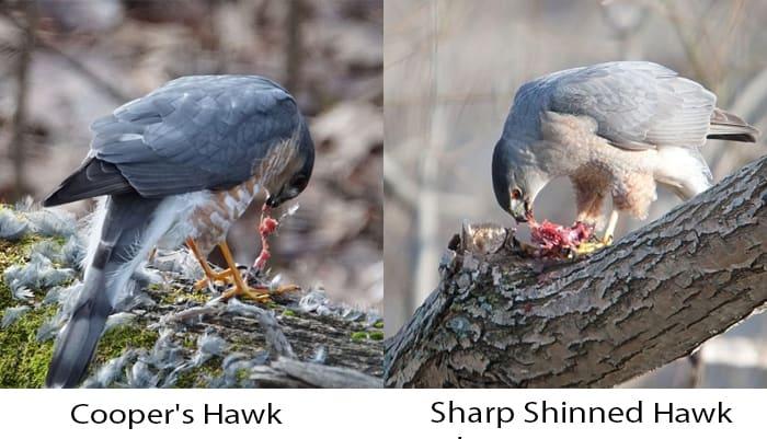 sharp-shinned-hawk-vs-cooper's-hawk