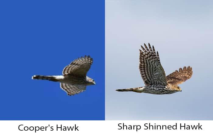 sharp-shinned-vs-coopers