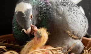 what do baby pigeons eat