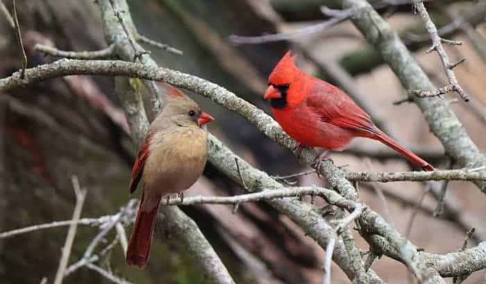 what does it mean when you see a cardinal bird