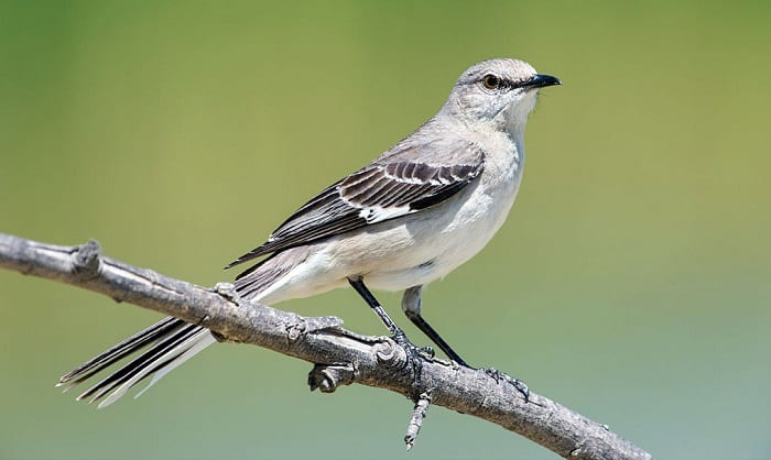 Northern-Mockingbird