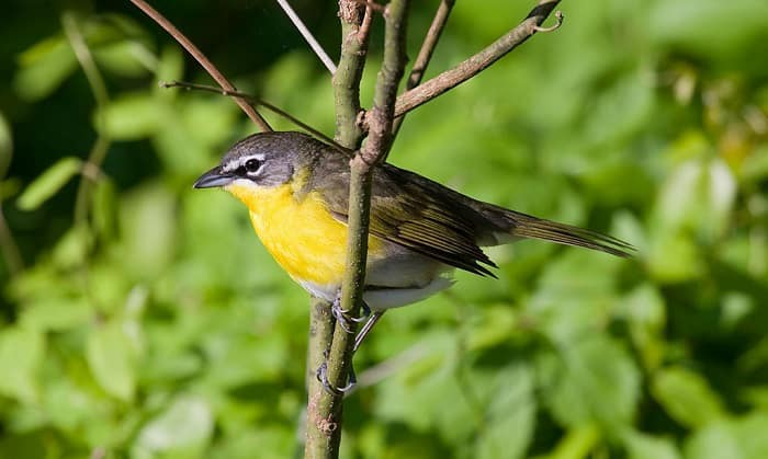 Yellow-breasted-Chat