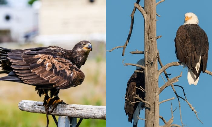 bald-eagles-vs-golden-eagles