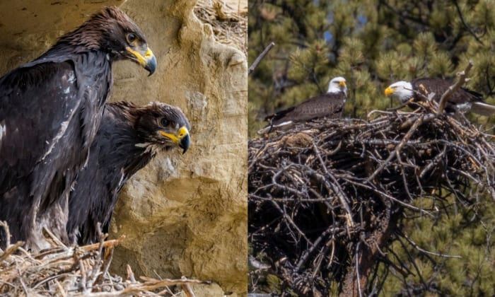 difference-between-bald-eagle-and-golden-eagle