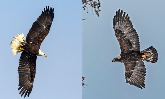 golden-eagle-compared-to-bald-eagle