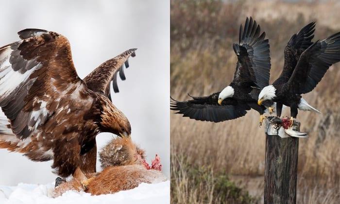 golden-eagle-versus-bald-eagle