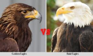 golden eagles vs bald eagles