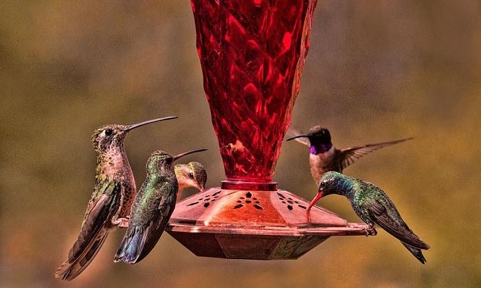 hummingbird-behavior