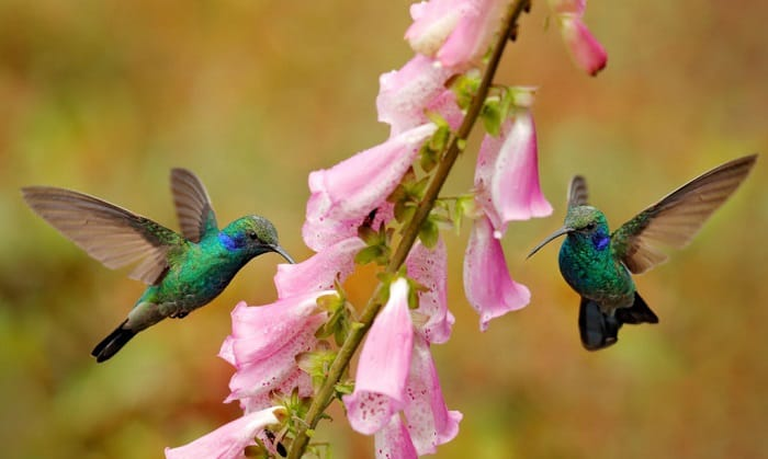 hummingbirds-fight