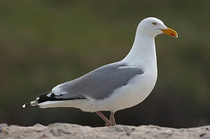 three-letter-bird-name