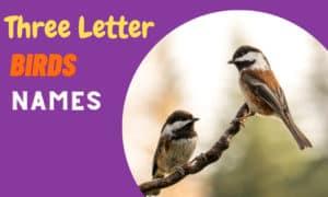 three letter birds names