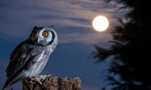what kinds of birds chirp at night