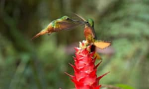 why do hummingbirds chase each other
